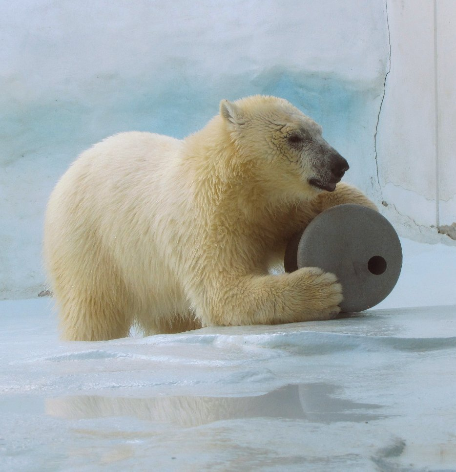 Hope of the Hogle Zoo My Polar