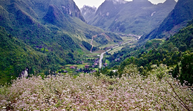 Benefits of Tam Giac Mach flower in Ha Giang
