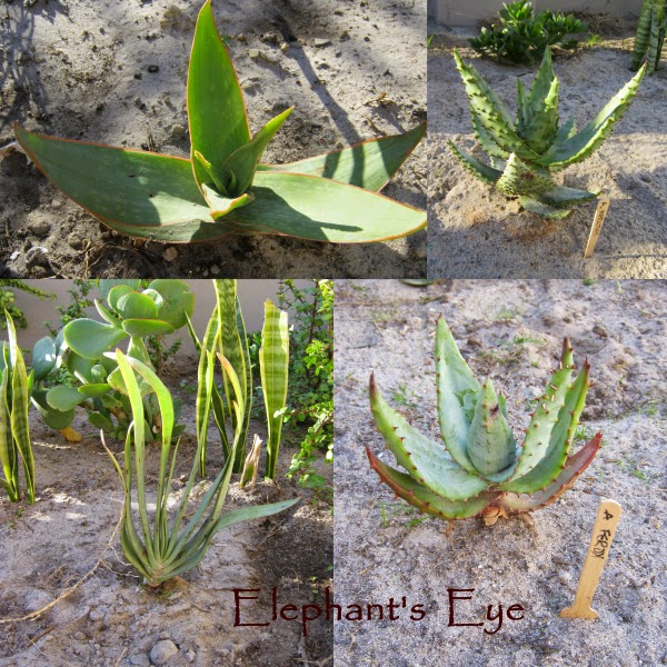 Aloe striata, Aloe marlothii, Kumara plicatilis, Aloe ferox