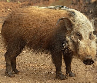 How A Bushpig Turned To Human Bein In Ekiti Puzzles Judge