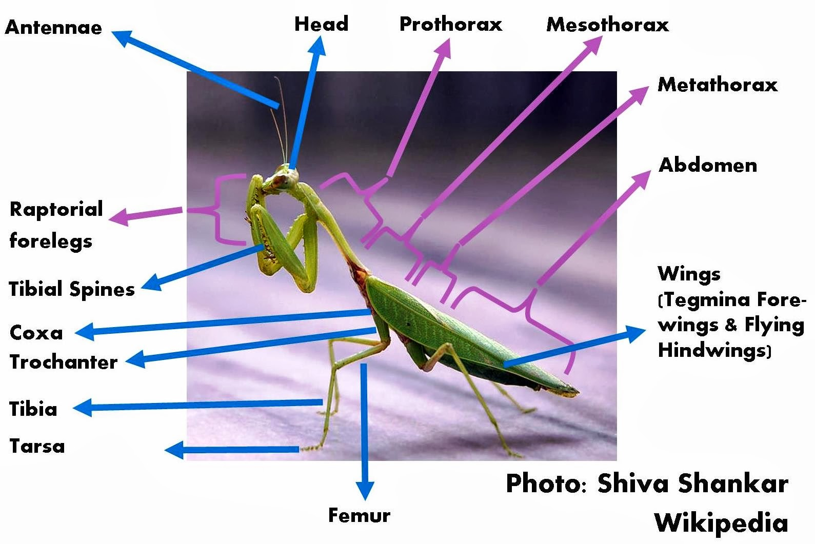 roots 'n' shoots: praying mantis: biological control ... body parts diagram from back