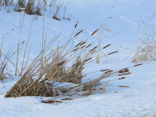 a spray of winter cattails