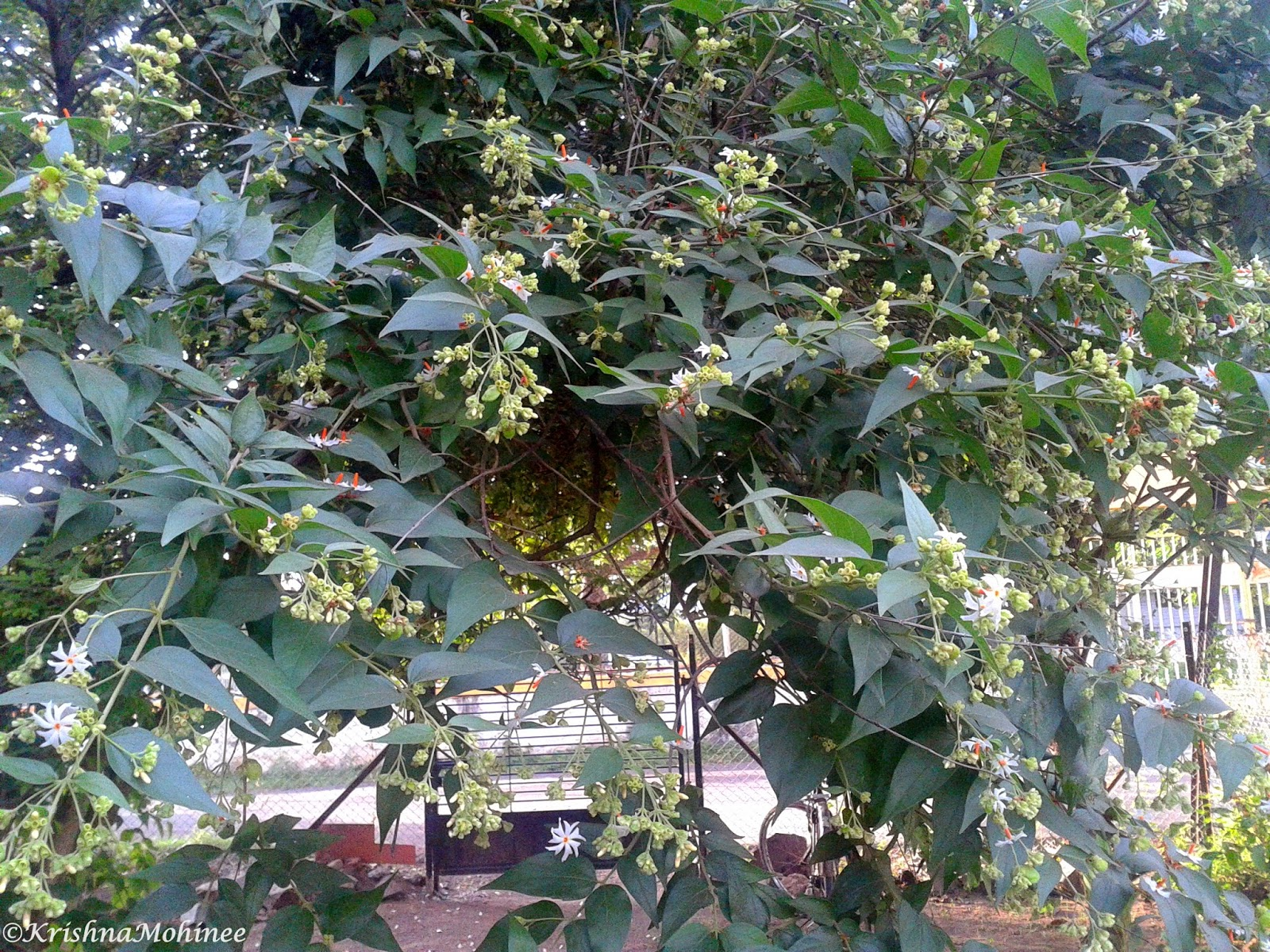 Image: Parijat tree with buds and flowers