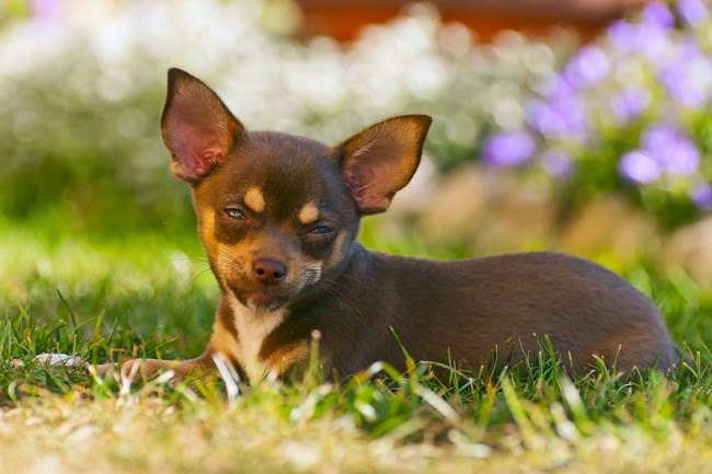 Psy rasy English Toy Terrier