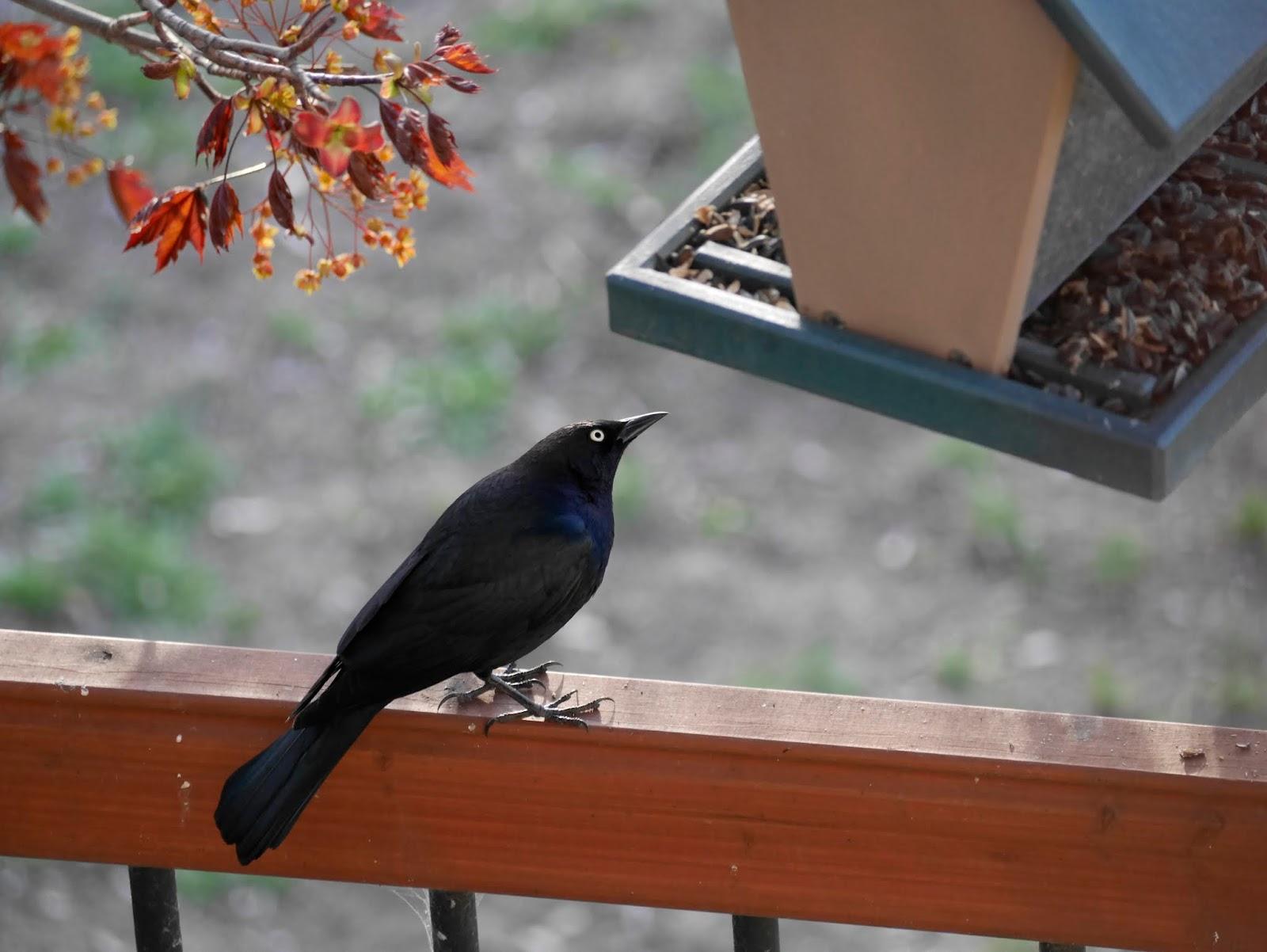 Backyard Birds of the South Okanagan - Backwoods Mama