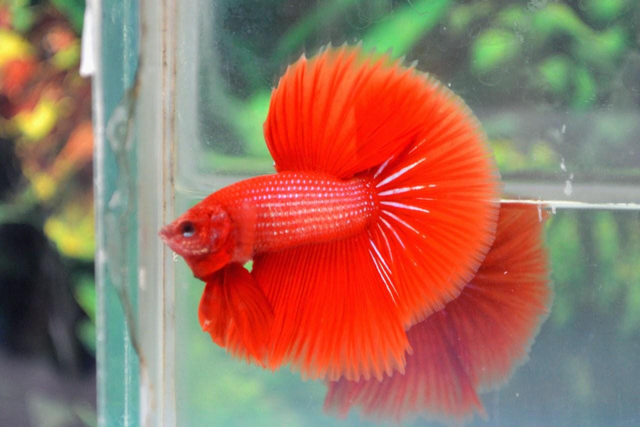 Jual Ikan Cupang Halfmoon Super Red Jakarta Selatan - Agen ...