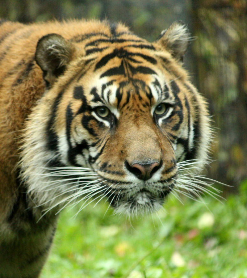 Toronto Zoo in the fall - Sumatran tiger