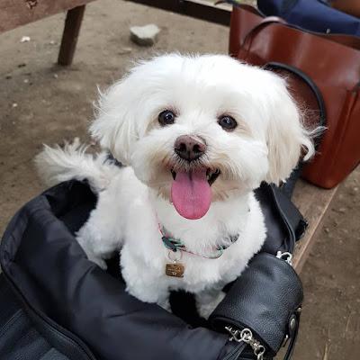 adoptar un perro maltes adulto