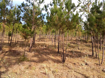 Reforestation Conafor Michoacan Mexico ecological restoration pines pino community