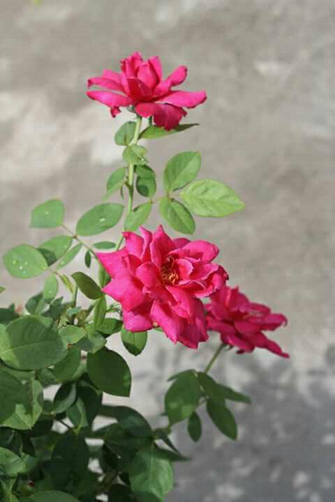 hoa hồng nhung thơm