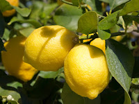 8 Teknis Menanam Buah Jeruk Lemon yang Sangat Menguntungkan