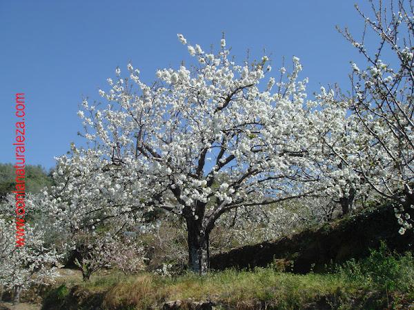 Cerezo for Arboles frutales de hoja caduca
