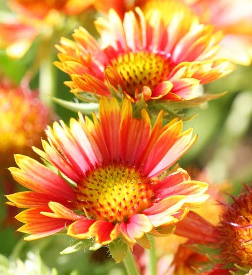 Heat Tolerant Perennials: Perennial Flowers That Bloom All Summer