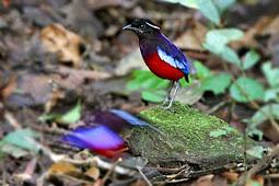 Burung Endemik Sumatra Paok Topi-Hitam (Pitta Venusta)