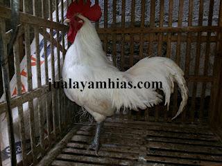 Ayam Ketawa Dewasa Jantan