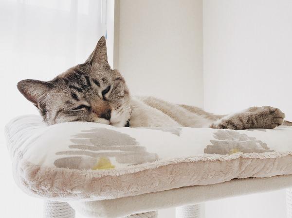 キャットタワー頂上のベッドで寝ているシャムトラ猫
