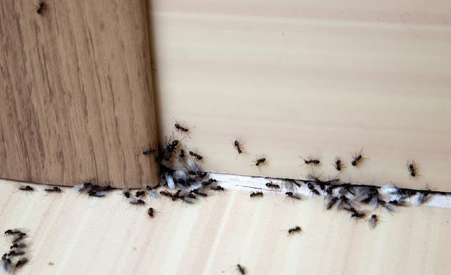 come-eliminare-le-formiche-in-casa