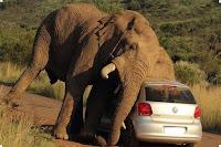 слоны убийцы фото