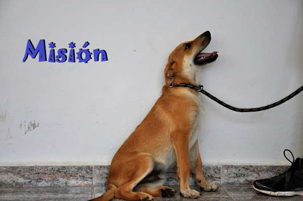cachorros cruce pastor alemán 6