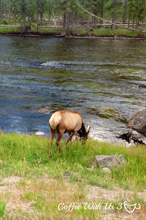 Yellowstone Elk | Yellowstone with Kids - 8 Tips - Make your Yellowstone Vacation the best it can be with these simple tips! | yellowstone |vacations |