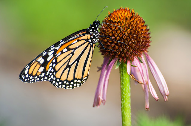 Monarch Butterfly on Coneflower, LLELA