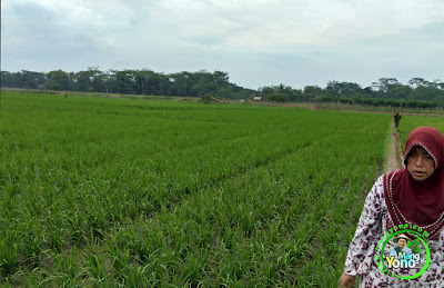 FOTO 2 : Tanaman Padi TRISAKTI Umur 21 HST Di Sawah Rawa Subang