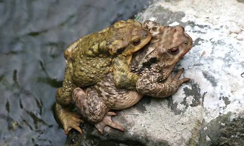Common toad animal wildlife common toad ccuart Images
