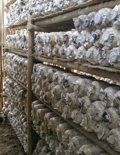 kumbung jamur tiram putih