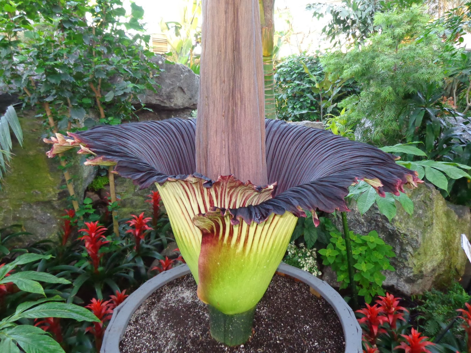 corpse flower wallpaper