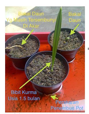 Inilah seba-sebab buah Kurma Tidak dapat Berbuah di Indonesia
