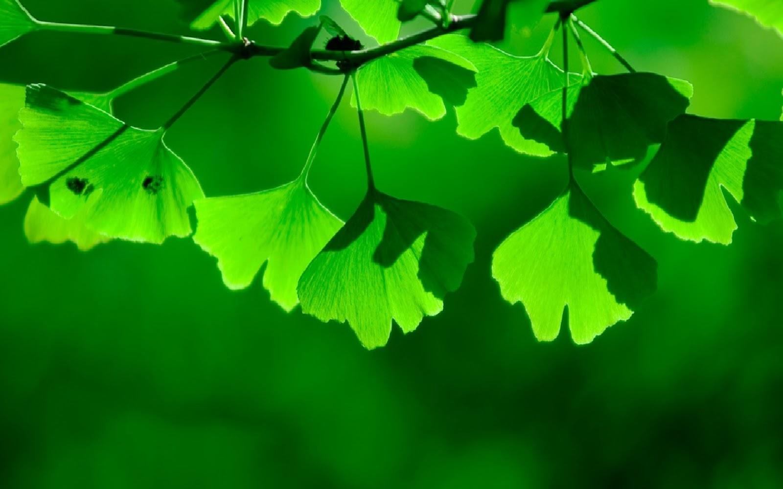 Green Ginkgo biloba PPT background