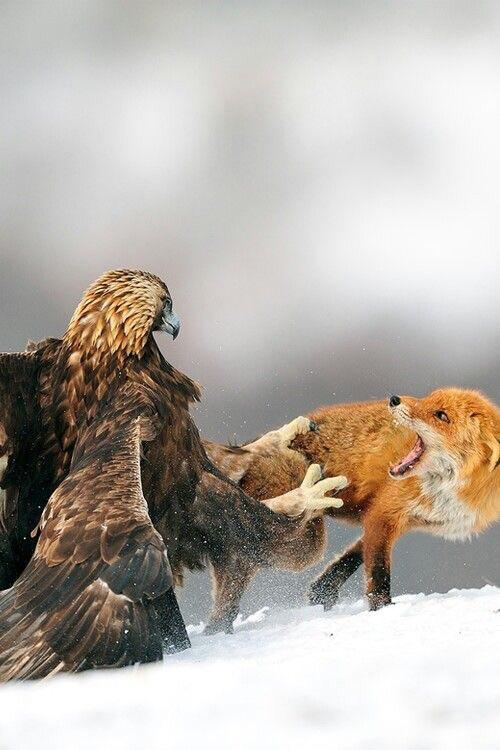 Golden eagle catching a red fox