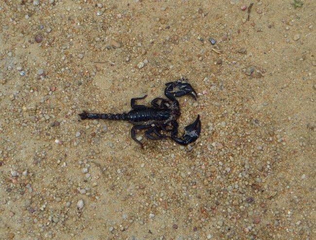 Раздавленый скорпион на дороги острова Самуи