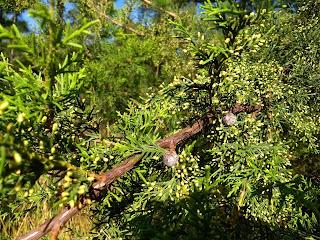 Cupressus lusitanica, Cedro blanco, Ciprés