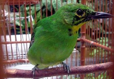 Tips Dan Cara Akurat Mengetahui Burung Cucak Ijo Trotol Bahan Anakan Jantan Dan Betina