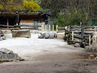 rinocer sezand pe jos