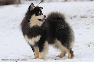 Lecibsin Ukas to Elbereth - Finnish Lapphund
