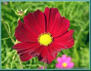 Fleurs de Cosmos.