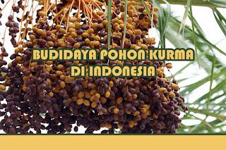 Menanam Pohon Kurma di Indonesia