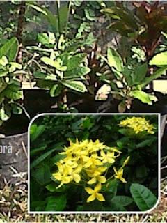 Tanaman Bunga Soka Kuning