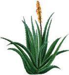Aloe TVera