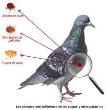 Enfermedades de las palomas