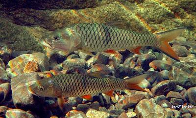 Ikan Hampala (hampala macrolepidota) - Penggila Ikan Hias