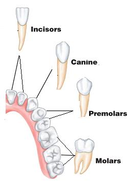 types+of+teeth+4