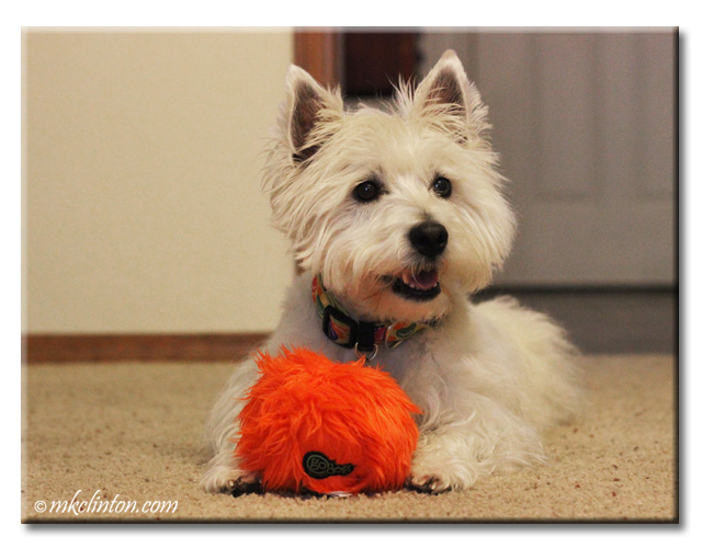 Pierre Westie loves his Furballz.