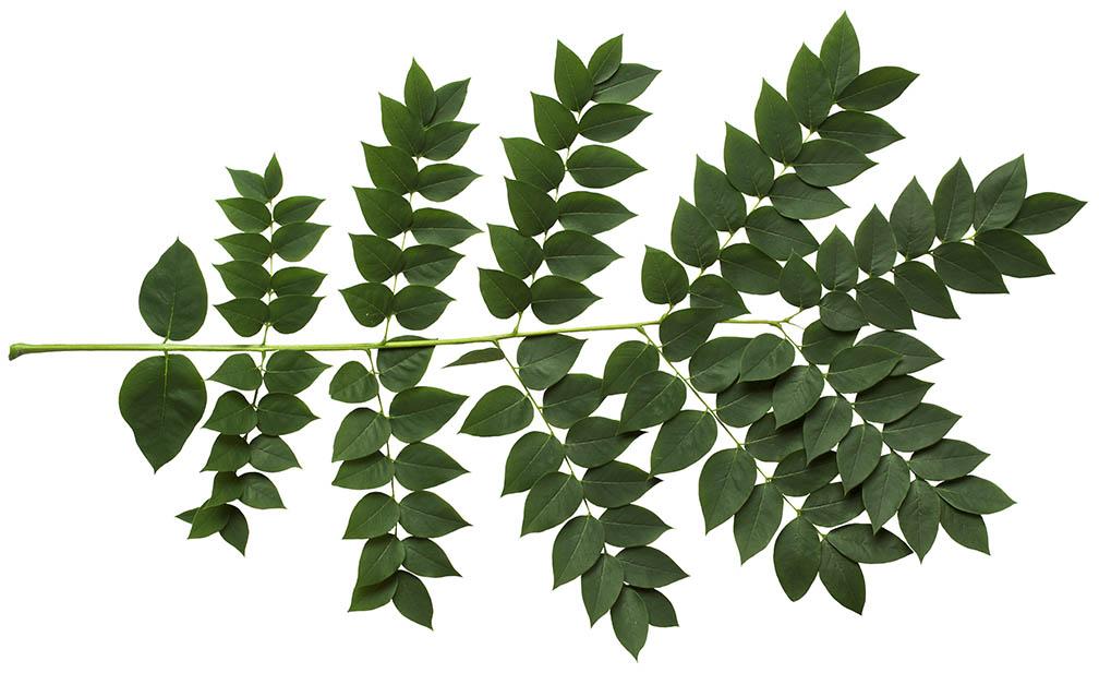 Flora urbana le coeur de la haie for Portent feuilles