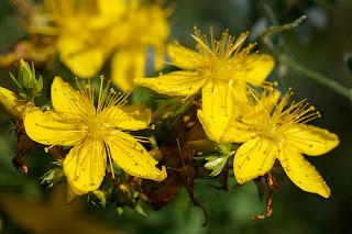 Gyógynövényekkel a depresszió ellen