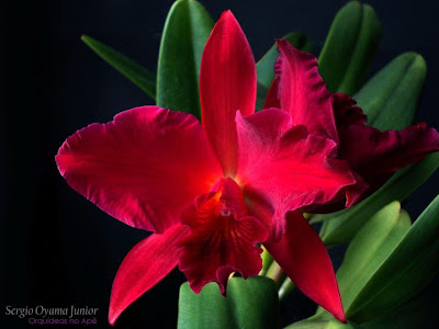 Orquídea Sophrolaeliocattleya Jewel Box 'Dark Waters'