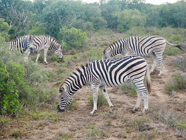 Zebra in Addo Elephant National Park, South Africa