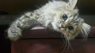 Cara Merawat Kucing Persia yang Baik bagi Pemula